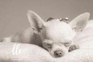 Chihuhua Pet Photography