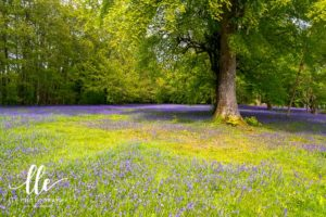 Bluebells carpet the meadows at Enys Gardens in Penryn. A place all photographers must visit at least once!